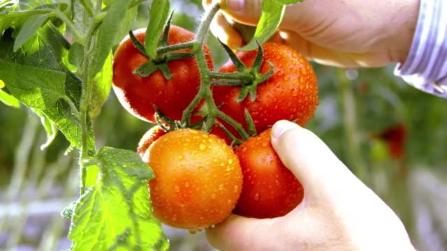 vídeos y material grabado en eventos de stock de slo mo granjero cosecha de tomate en invernadero - botánica