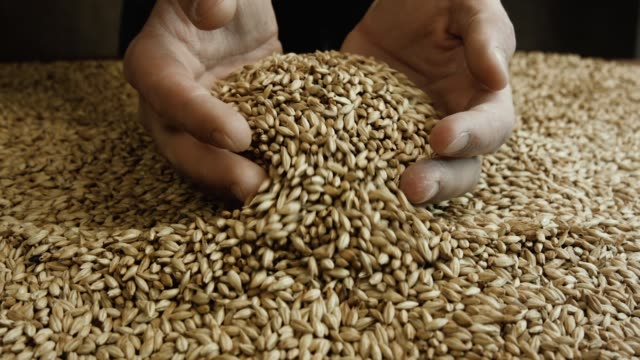 Farmer holding grains in his hands. Farmer holding grains in his hands. Male cupped hands pouring whole wheat grain kernels. Wheat in a hand good harvest. Harvest close-up of farmers hands holding wheat grains. handful stock videos & royalty-free footage