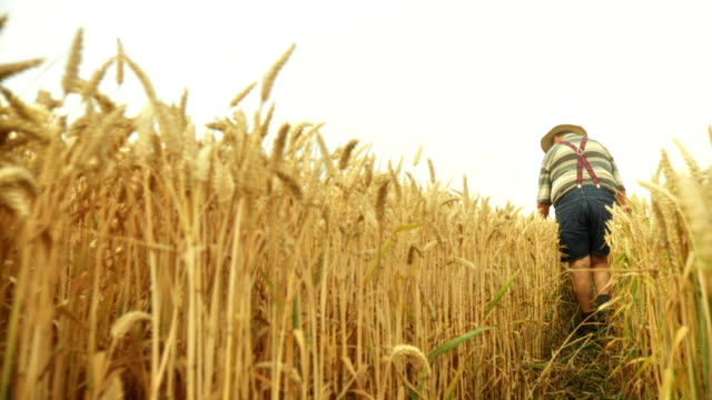 HD SLOW-MOTION: Farmer In A Wheat Field video