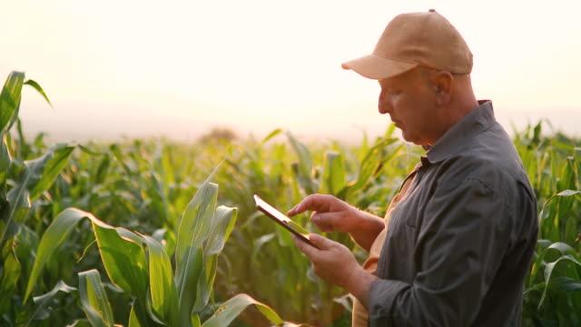 Farmer in corn field with tablet video
