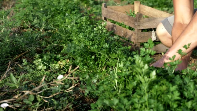 Farmer in hat harvesting fresh parsley by knife on the field of organic eco farm video