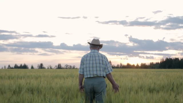 Farmer In Hat Walks Through Agricultural Field With Growing Wheat At Sunset