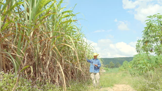 farmer in plantation using a digital tablet quality inspection in sugar cane field, smart farming concept - canna da zucchero video stock e b–roll