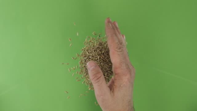 vidéos et rushes de l'agriculteur dans le palmier retient des grains de seigle. pile de grains d'une main tombent sur un fond vert. vue supérieure. - seigle grain