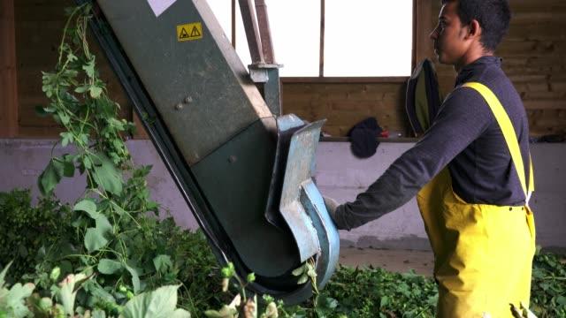 farmer inserting a hop branch into machine - państwo lokalizacja geograficzna filmów i materiałów b-roll