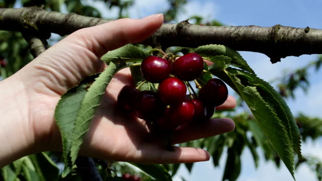 Farmer inspecting cherry in the orchard Farmer inspecting cherry yield in the orchard cherry stock videos & royalty-free footage