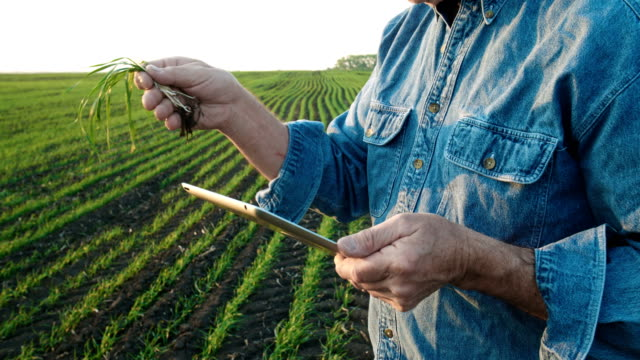 Farmer inspects a wheat plant and roots using an Ipad.