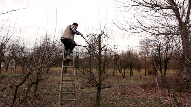 Farmer is pruning branches of fruit trees in orchard using long loppers on ladders Gardener is climbed on ladders and he cutting branches, pruning fruit trees with long shears in the orchard. cookie cutter stock videos & royalty-free footage