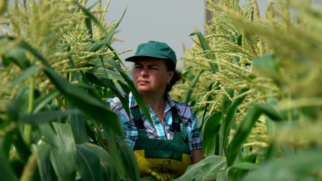 Farmer is walking on the corn field and examining corn stems