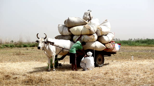Farmer loading husk in to the cart after wheat harvesting