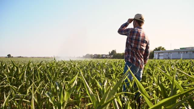 Farmer looking at agricultural sprinklers in corn field video