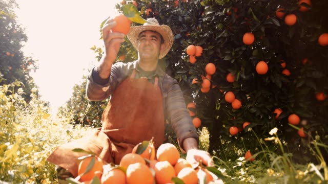 Farmer looking at fresh orange from orchard
