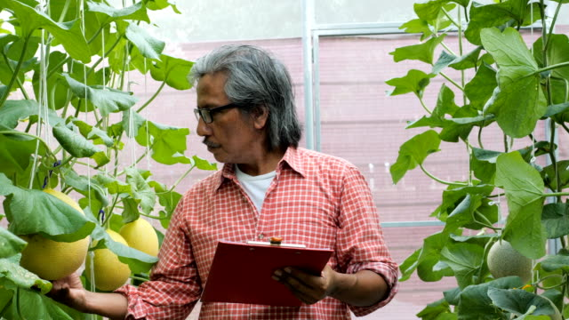 Farmer man checking quality of melons or plants growing in greenhouse supported.