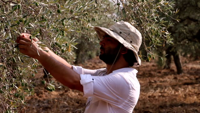 Farmer Man Picking Olives From Tree video
