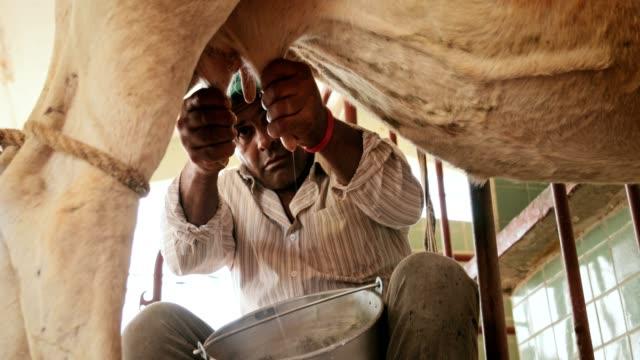 vídeos de stock e filmes b-roll de farmer milking cow in family farm slow motion - ordenhar