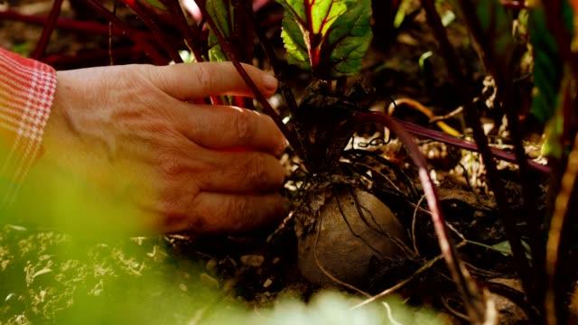 agricoltore su agricoltura biologica sostenibile locale raccolta ortaggi a radice - cucina vegetariana video stock e b–roll