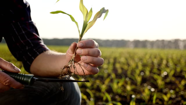 farmer on the field examines corn sprouts in spring - surowy obraz filmowy filmów i materiałów b-roll
