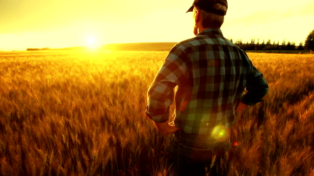 farmer over looking the success of his crops. - saman stok videoları ve detay görüntü çekimi