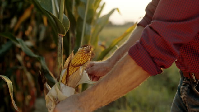vídeos de stock, filmes e b-roll de slo mo agricultor descascando um pé de milho no campo - descascado