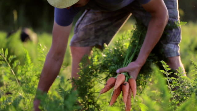 vídeos de stock e filmes b-roll de farmer picking and holding a biological product of carrots. - vegetables