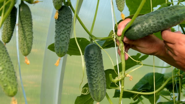 Farmer picking cucumbers in the warm house video