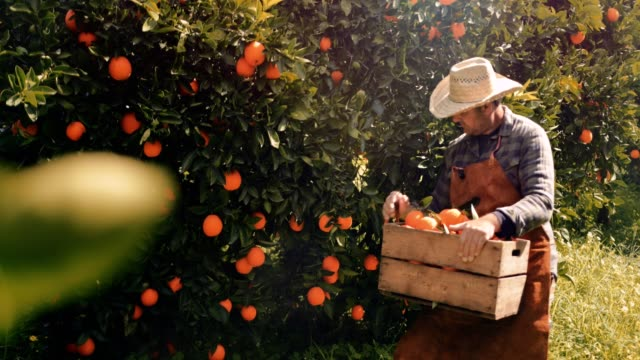 Farmer picking fresh oranges from orange trees in spring