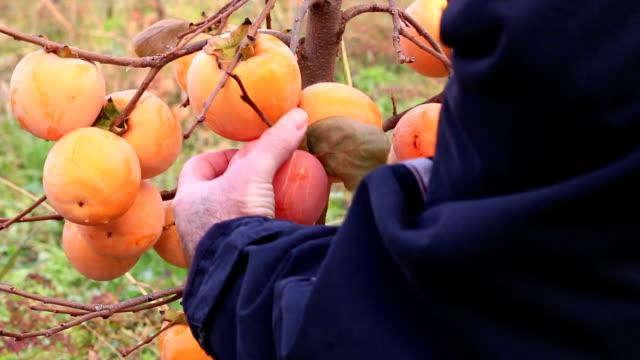 Farmer picking japanese persimmon video