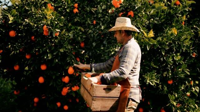 landwirt orangen pflücken und setzen sie in hölzernen korb - pflücken stock-videos und b-roll-filmmaterial