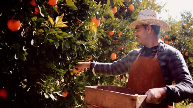 bonde plocka apelsiner från frukt träd braches - apelsin bildbanksvideor och videomaterial från bakom kulisserna