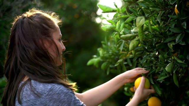 landwirt pflücken orangen vom obstbaum - pflücken stock-videos und b-roll-filmmaterial