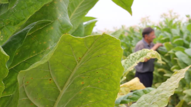 stockvideo's en b-roll-footage met farmer picking tobacco in the field - guy with cigar