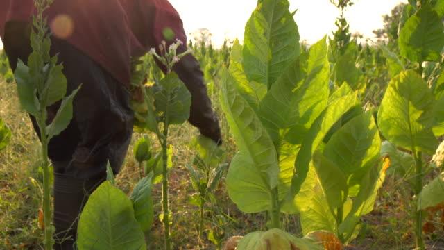agricoltore che raccoglie la foglia di tabacco nella pianta - nicotina video stock e b–roll