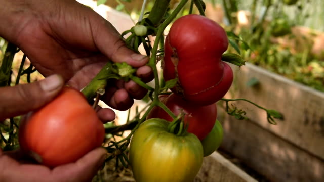 Farmer picking tomatoes in the warm house video