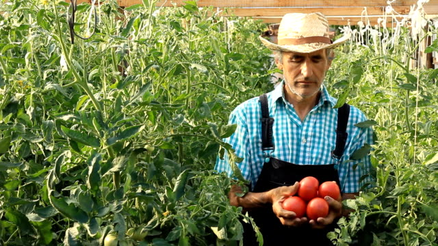 Farmer Picking Tomatoes video