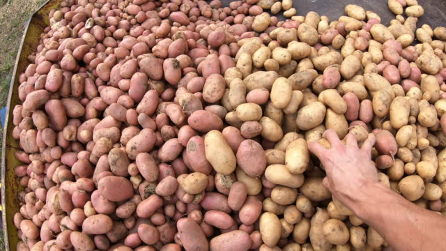 Farmer Picking Up and Examining Harvested Potato Farmer Picking Up and Examining Harvested Potato. red potato stock videos & royalty-free footage
