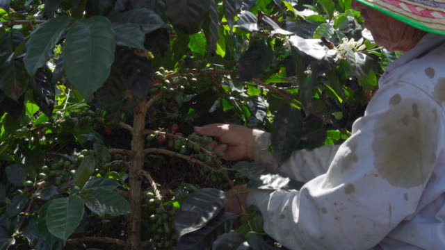 farmer picking up red coffee beans - coffee farmer video stock e b–roll
