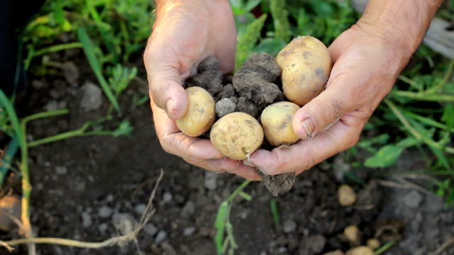農家野菜狩り - 収穫点の映像素材/bロール