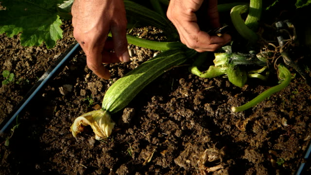 farmer picking zucchini from vegetable garden - zucchini video stock e b–roll