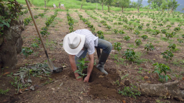 vídeos de stock e filmes b-roll de farmer placing a coffee plant in a hole previously dug by him - farmer