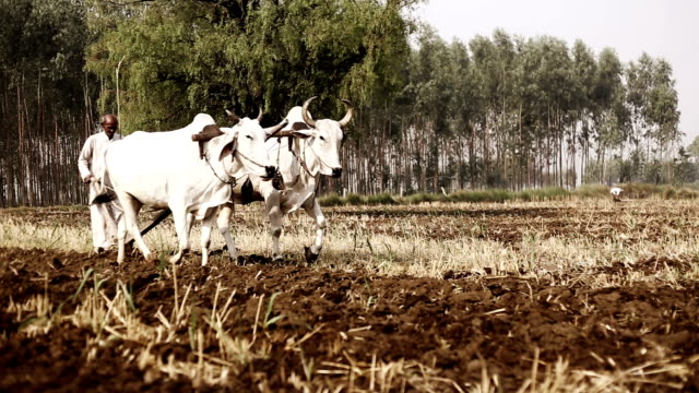 vídeos de stock, filmes e b-roll de campo de aragem agricultor usando o arado de madeira - civilização milenar