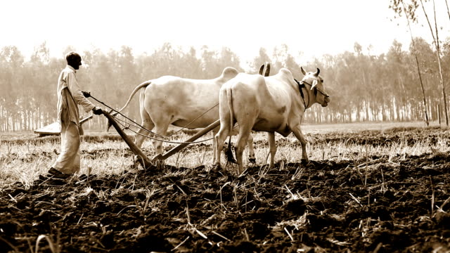 Farmer ploughing field using wooden plough Rural farmer of Indian ethnicity ploughing field using wooden plough for next crop plantation during summer season. plowing stock videos & royalty-free footage
