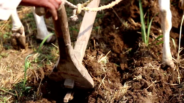 Farmer ploughing field using wooden plough Rural farmer of Indian ethnicity ploughing field using wooden plough for next crop plantation during summer season. plow stock videos & royalty-free footage