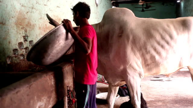 Farmer pouring food to his white bull