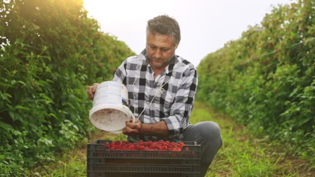 vídeos de stock e filmes b-roll de farmer pouring raspberries from a bucket to box full of raspberries stock video - picking fruit