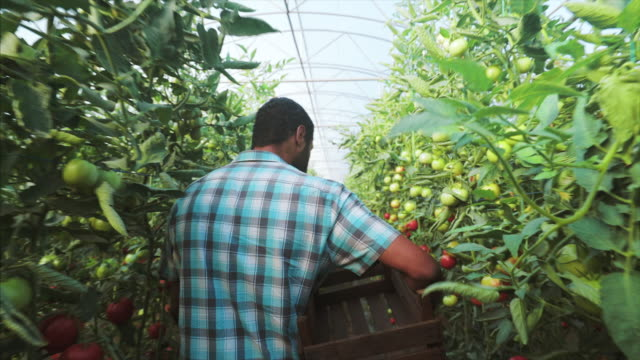 Farmer preparing for a new harvest day. Young male farmer walking along the greenhouse and preparing to pick up fresh organic tomatoes for his clients. homegrown produce stock videos & royalty-free footage