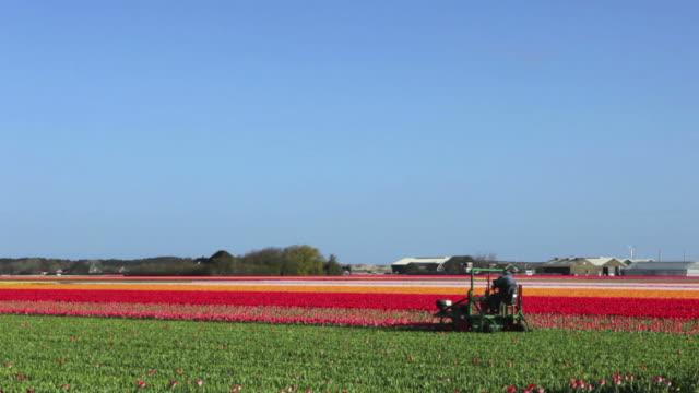 Farmer pruning tulips on a clear day in The Netherlands video