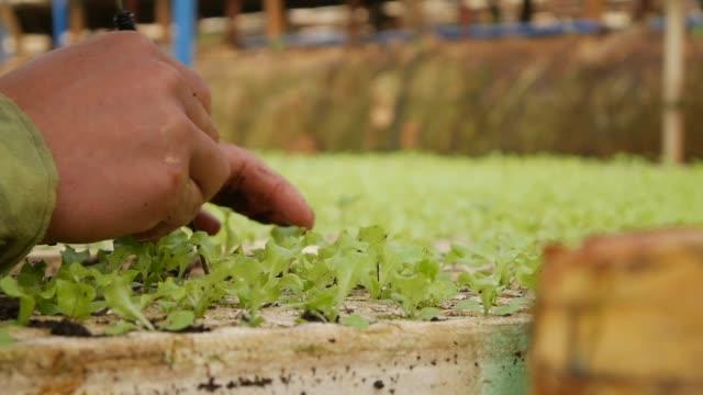vidéos et rushes de l'agriculteur replantant les jeunes semis de salade germés dans une serre chaude. thème de la ferme. semis de cultures maraîchères à l'échelle industrielle - angiosperme