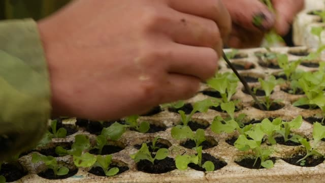 farmer replanting sprouted young salad seedlings in a greenhouse. farm theme. seedlings of vegetable crops on an industrial scale - капустные стоковые видео и кадры b-roll