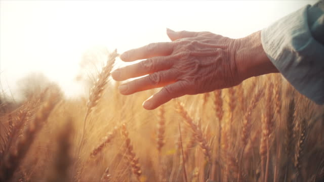 SLO MO Farmer senior woman hand caressing ripe golden wheat plants at sunset.