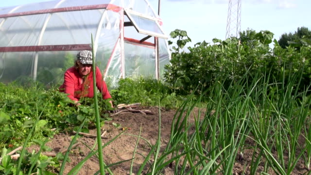 Farmer senior woman weed strawberry plant near garden greenhouse video